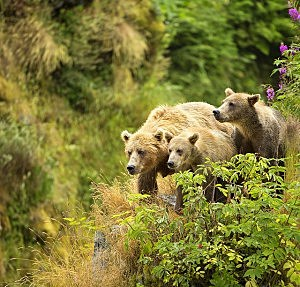 A female bear and her cubs walk near a red elderberry bush on the edge of a cliff on Kodiak Island, Alaska. (Photo by Lisa Hupp, U.S. Fish and Wildlife Service.)
