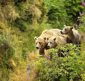 A female bear and her cubs walk near a red elderberry bush on the edge of a cliff on Kodiak Island, Alaska. (Photo by Lisa Hupp, U.S. Fish and Wildlife Service.)