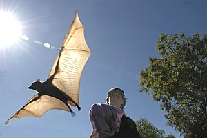 Raina Plowright releases a bat called a little red flying fox in Australia. Photo courtesy Shirley Plowright.